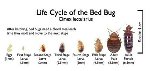 life cycle of bed bugs